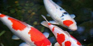Mơ thấy cá đánh con gì, giải mã giấc mơ thấy cá