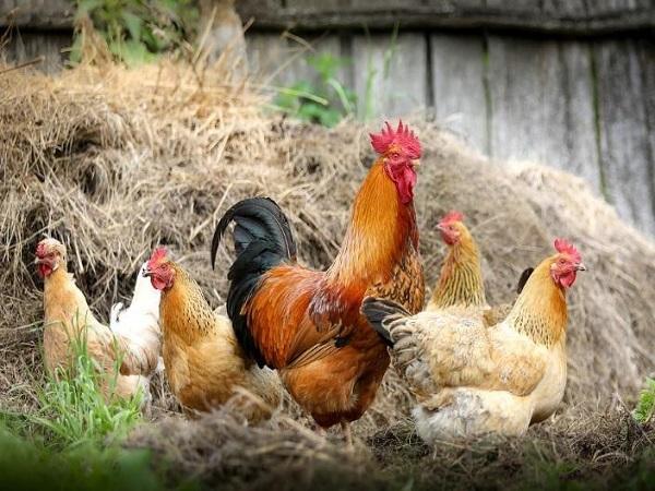 Mơ thấy gà nên đánh con gì ăn chắc