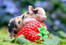 Mơ thấy lợn đánh đề con gì