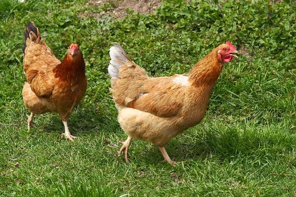 Mơ thấy con gà mang lại điềm báo gì?