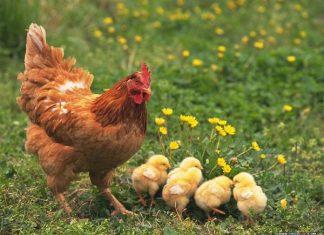 Ý nghĩa giấc mơ thấy con gà