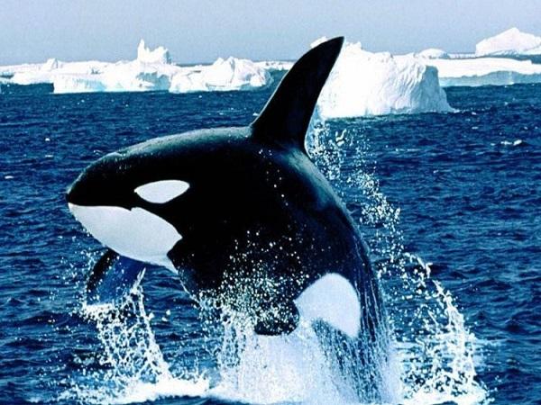 Vì sao lại mơ thấy cá voi