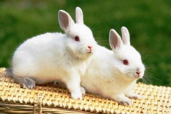 Điềm báo trong giấc mơ thấy thỏ