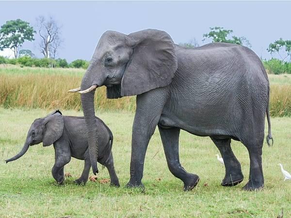 Ý nghĩa của giấc mơ thấy con voi là điềm báo gì?