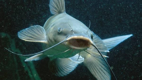 Nằm mơ thấy cá trê đánh con gì đánh số mấy