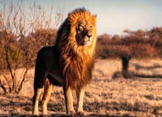 Mơ thấy sư tử - Ý nghĩa của giấc mơ thấy sư tử là gì