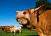 Mơ thấy bò đánh ngay cặp xổ số nào? Là điềm đen hay đỏ?
