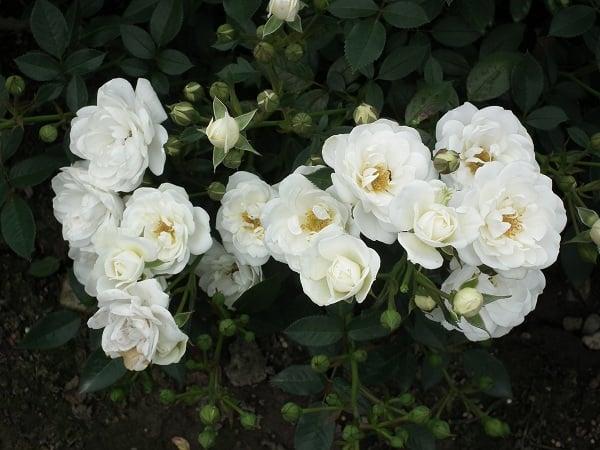 Mơ thấy hoa màu trắng đánh con gì?