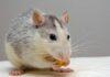 Mơ thấy con chuột lựa chọn cặp số nào dễ vào bờ nhất?