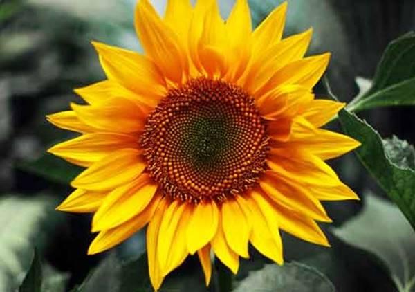 Nằm mơ thấy hoa hướng dương đánh con gì đánh số mấy