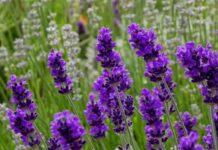 Mơ thấy hoa màu tím điềm báo lành hay dữ?