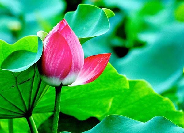 Nằm mơ thấy hoa sen là điềm báo gì? Đánh số mấy