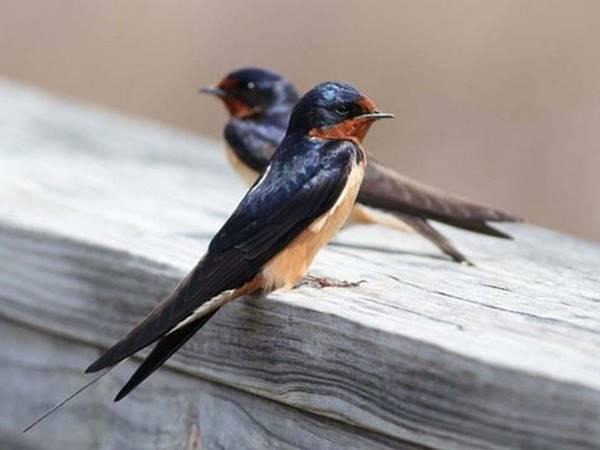 Giải mã giấc mơ thấy chim én là điềm báo gì